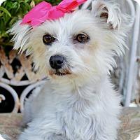Adopt A Pet :: Clarissa - Irvine, CA
