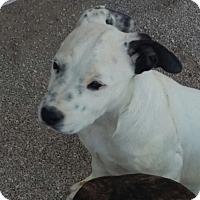 Adopt A Pet :: Snow Lilly - Las Vegas, NV