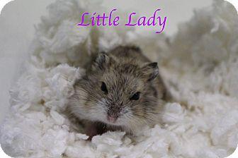 Hamster for adoption in Bradenton, Florida - Little Lady