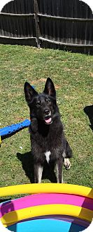 German Shepherd Dog Dog for adoption in Greensboro, North Carolina - Otis(CL)