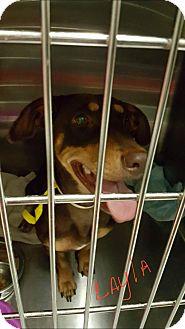Dachshund Mix Dog for adoption in Livingston Parish, Louisiana - Layla