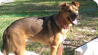 Shepherd (Unknown Type)/Labrador Retriever Mix Dog for adoption in Brooksville, Florida - Deisel