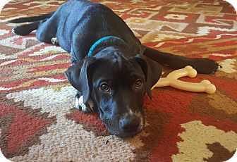 Labrador Retriever Mix Dog for adoption in Chattanooga, Tennessee - Spanky