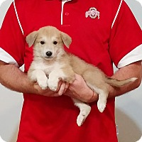 Adopt A Pet :: Shephard - South Euclid, OH