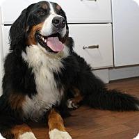 Bernese Mountain Dog Dog for adoption in London, Ontario - Maureen