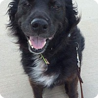 Flat-Coated Retriever/Border Collie Mix Dog for adoption in Wylie, Texas - Clementine