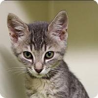 Domestic Shorthair Kitten for adoption in Red Bluff, California - Kanye