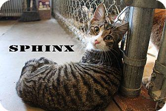 Domestic Shorthair Cat for adoption in Texarkana, Arkansas - Sphinx