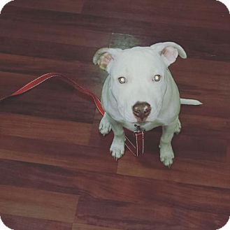 Pit Bull Terrier Mix Puppy for adoption in Runnemede, New Jersey - Koda