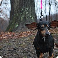 Adopt A Pet :: Precious - New Castle, PA