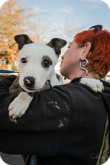 Pit Bull Terrier/Cattle Dog Mix Puppy for adoption in Seattle, Washington - Thomas