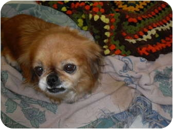Pekingese Dog for adoption in Newport, Vermont - Paige