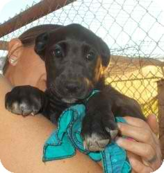 Labrador Retriever Mix Dog for adoption in Anza, California - Lara