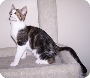 Domestic Shorthair Kitten for adoption in Colorado Springs, Colorado - K-Sophie4-Jersey