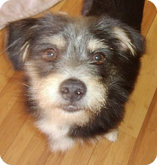 Terrier (Unknown Type, Small)/Wirehaired Fox Terrier Mix Puppy for adoption in Hollywood, Florida - Fritz