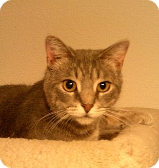 Domestic Shorthair Cat for adoption in North Highlands, California - Gary