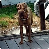 Adopt A Pet :: Libby - Gainesville, FL