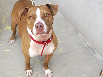 American Pit Bull Terrier/American Staffordshire Terrier Mix Dog for adoption in Detroit, Michigan - Macy