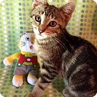 Adopt A Pet :: Koa - Addison, IL