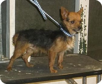 Yorkie, Yorkshire Terrier/Chihuahua Mix Dog for adoption in Bonifay, Florida - Rome