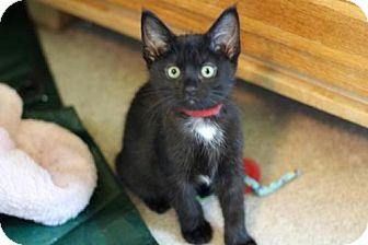 Domestic Shorthair Kitten for adoption in Franklin, Tennessee - SAMMY