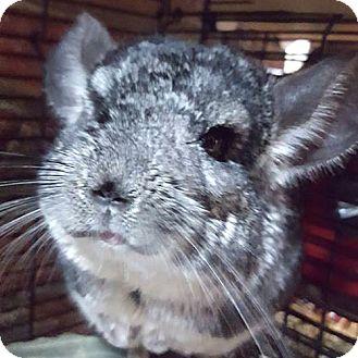 Chinchilla for adoption in Patchogue, New York - Stewart
