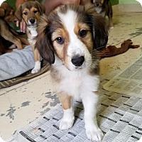Adopt A Pet :: Marilyn - Chantilly, VA