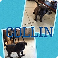 Adopt A Pet :: Collin - Scottsdale, AZ