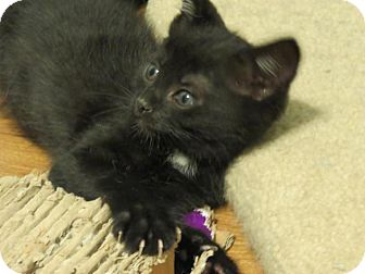 Domestic Shorthair Kitten for adoption in Florence, Kentucky - Johnny Cash
