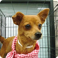 Chihuahua Mix Dog for adoption in Las Vegas, Nevada - Lily
