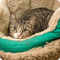 Domestic Shorthair Kitten for adoption in Bronx, New York - Chase