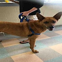German Shepherd Dog Dog for adoption in Atlanta, Georgia - NICO
