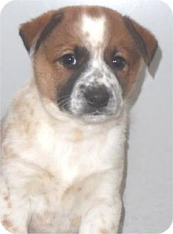 Australian Cattle Dog Mix Puppy for adoption in Waupaca, Wisconsin - Carrie