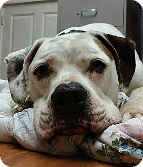 American Bulldog Dog for adoption in Lisbon, Ohio - Chance
