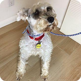 Schnauzer (Miniature) Dog for adoption in Redondo Beach, California - Rizzo