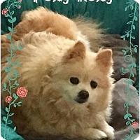Adopt A Pet :: Foxy Roxy - Greensboro, MD