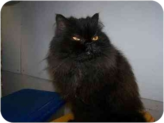 Persian Cat for adoption in Chattanooga, Tennessee - Darth