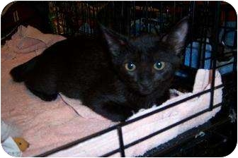 Domestic Shorthair Kitten for adoption in Cocoa, Florida - Eli