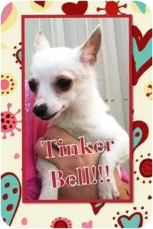 American Eskimo Dog/Chihuahua Mix Dog for adoption in Somerset, Texas - Tinker Bell
