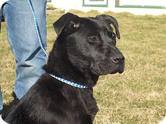 Labrador Retriever Mix Dog for adoption in Germantown, Maryland - Raven