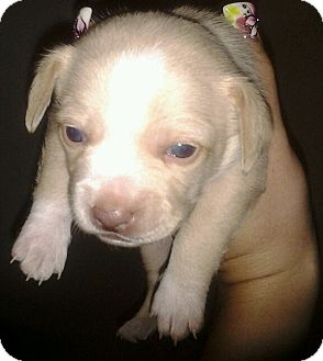 Maltese/Chihuahua Mix Puppy for adoption in Thousand Oaks, California - Iggy