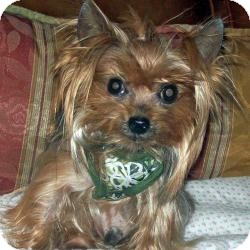 Yorkie, Yorkshire Terrier Dog for adoption in The Villages, Florida - Frankie