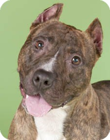American Staffordshire Terrier/American Pit Bull Terrier Mix Dog for adoption in Chicago, Illinois - Bullwinkle