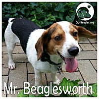 Adopt A Pet :: Mr. Beaglesworth - Novi, MI