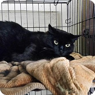 Domestic Shorthair Cat for adoption in Maryville, Tennessee - Babs