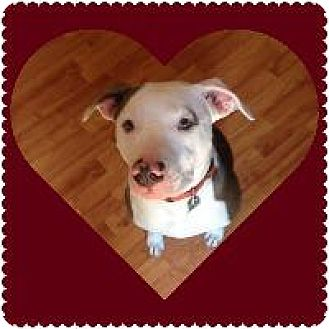 Pit Bull Terrier Mix Dog for adoption in Louisville, Kentucky - Boyd