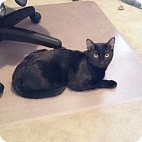 Adopt A Pet :: Barbro - Arlington/Ft Worth, TX