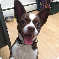 Adopt A Pet :: Millie in CT - Manchester, CT