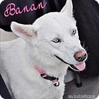 Adopt A Pet :: Banan - Carrollton, TX