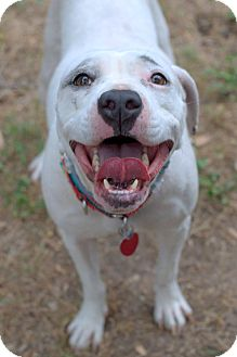 Pit Bull Terrier/American Staffordshire Terrier Mix Dog for adoption in College Station, Texas - Serena